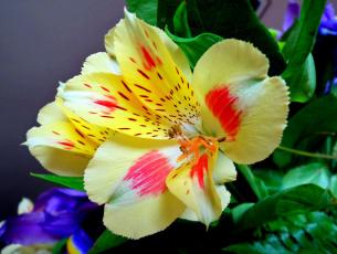 обоя цветы, альстромерия, макро