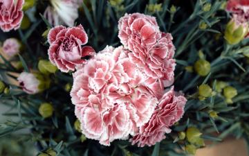 обоя цветы, гвоздики, розовый