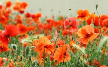 обоя цветы, маки, боке, лето, поле