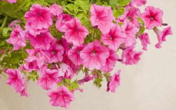 обоя цветы, петунии,  калибрахоа, крупный, план