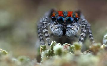 обоя животные, пауки, лапки, мохнатые, портрет, паучок, фон, взгляд, макро, джампер, природа, размытый, размытие, паук, глаза, скакунчик, растение, мордашка
