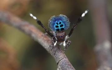 обоя животные, пауки, паучок, фон, природа, макро, чудик, окрас, поза, яркий, прыгающий, паук, зеленый, мохнатые, узор, лапки, брюшко, красивый, размытый, танец, джампер, стебель, скакунчик, глаза