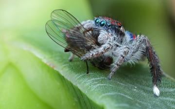 обоя животные, пауки, паук, мертвая, макро, глаза, скакунчик, муха, фон, добыча, природа, листок, еда, зеленый, паучок, насекомое, мохнатые, насилие, лапки, жертва