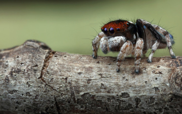 обоя животные, пауки, природа, скакунчик, глаза, макро, размытый, фон, растение, портрет, взгляд, мордашка, паук, паучок, размытие, джампер, лапки, мохнатые