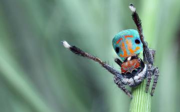 обоя животные, пауки, скакунчик, глаза, природа, фон, чудик, стебель, паук, окрас, зеленый, поза, яркий, макро, джампер, прыгающий, размытый, танец, брюшко, красивый, лапки, мохнатые, узор, паучок