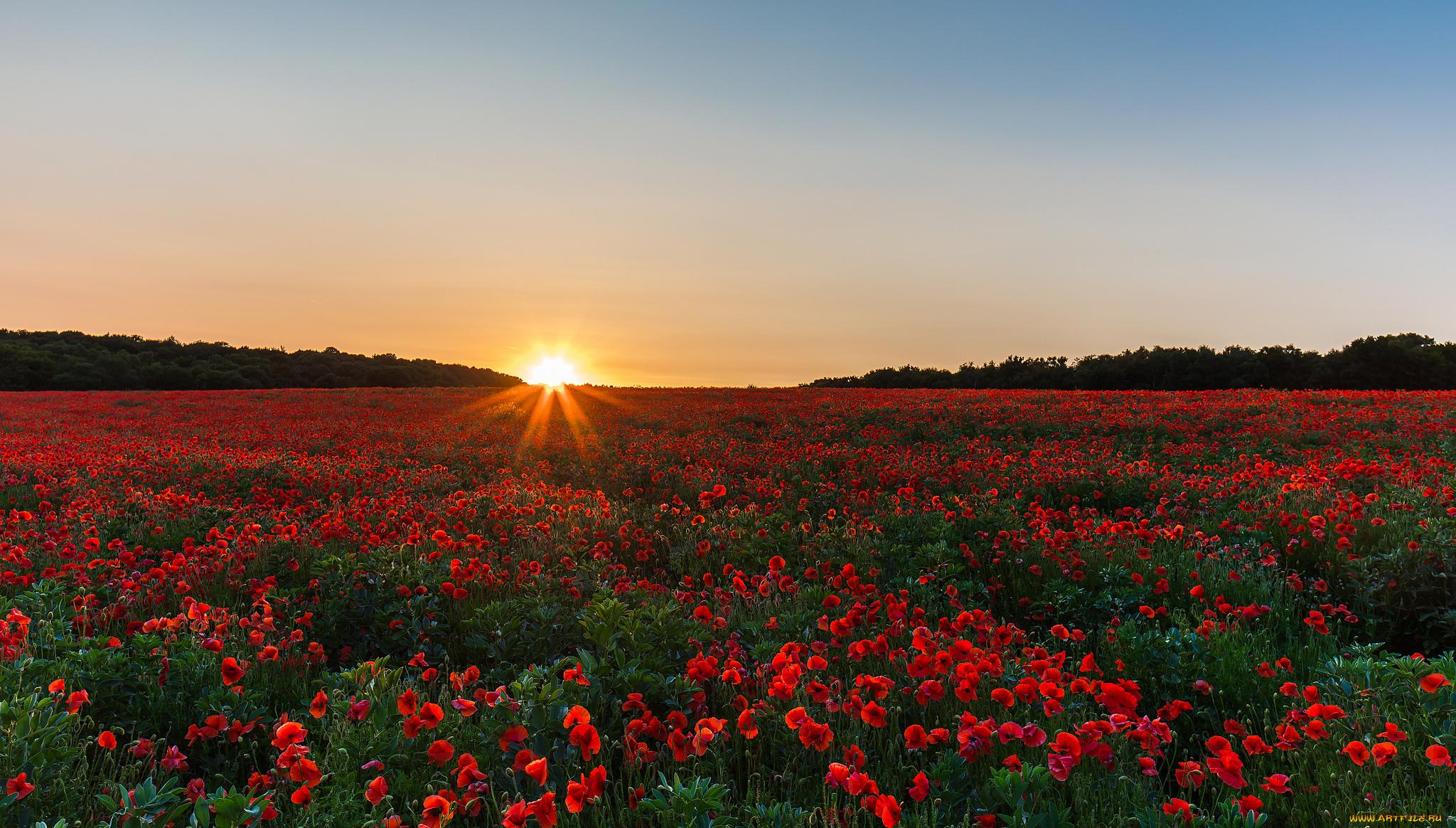 поле маки цветы  № 1877361 без смс