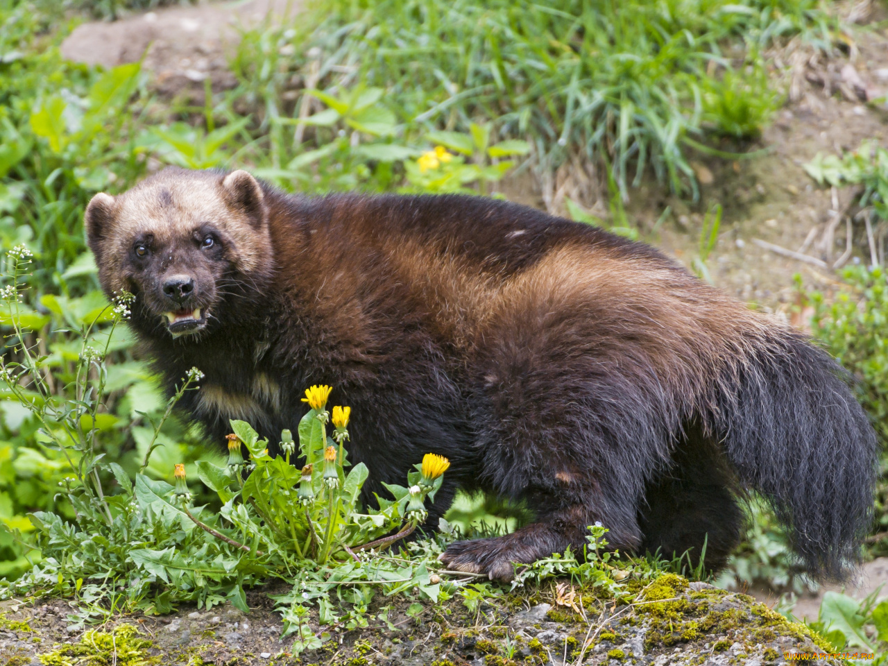 росомаха животное фото и описание трегубова скрывает