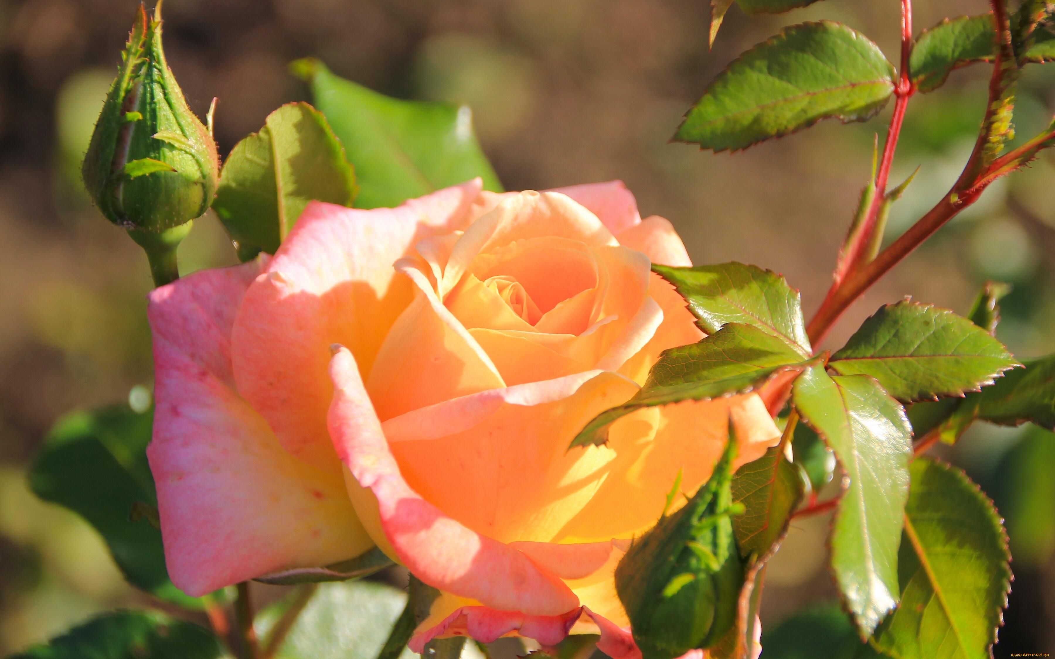 роза бутон макро скачать