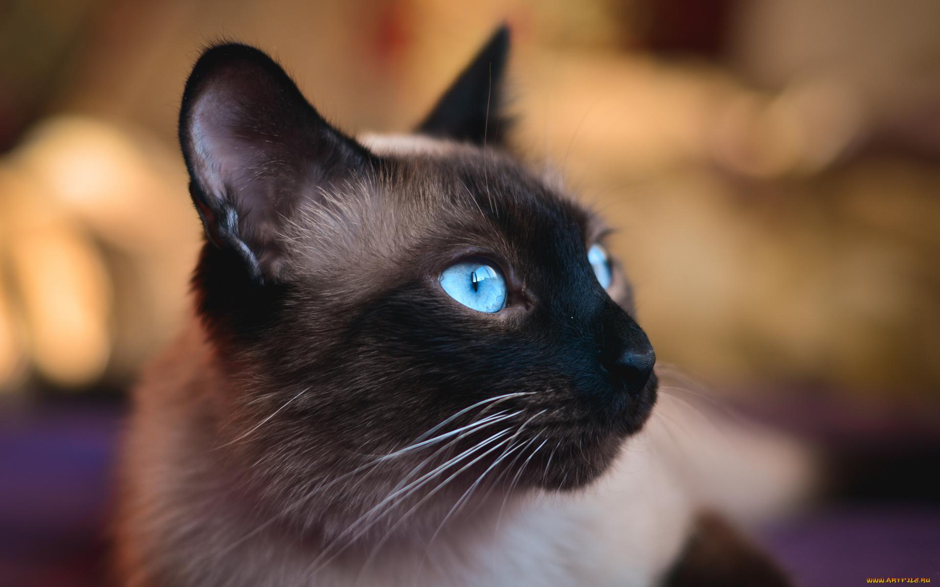 Новогодние оленем, картинки с сиамскими котами