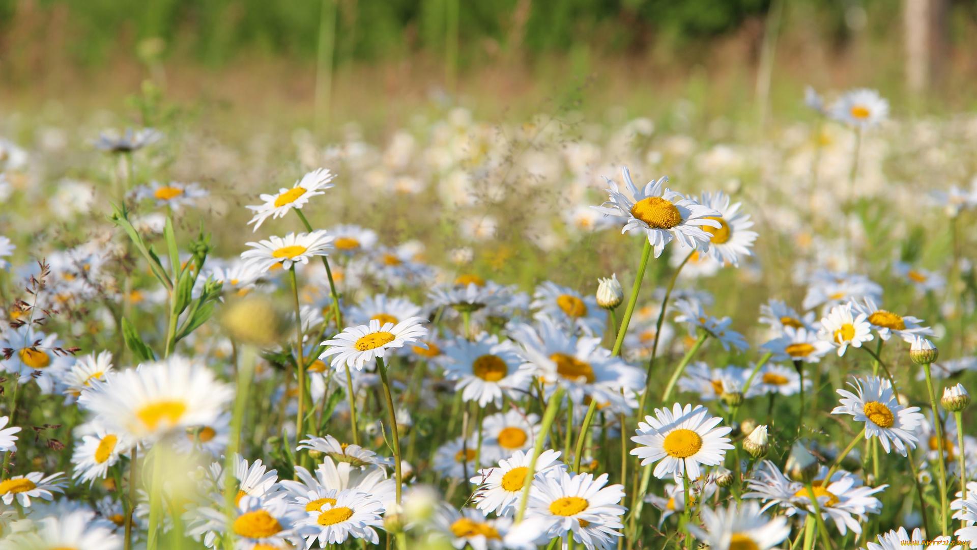 Фото красивые ромашки в поле, лагерь солнышко