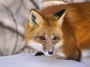 обоя животные, лисы, рыжая, лиса, снег, морда, зима