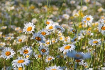 обоя цветы, ромашки, красота, полевые, поле, природа, лето, цветение