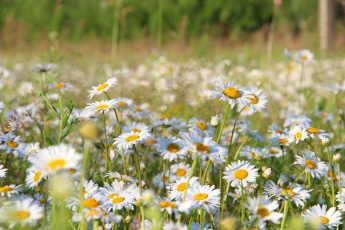 обоя цветы, ромашки, рязань, рязанщина, поле, россия, природа, лето, красота, ромашковое