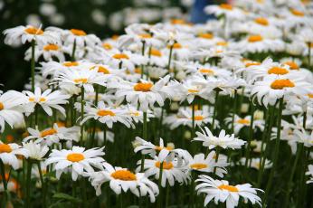 обоя цветы, ромашки, цветение, лето, природа, красота