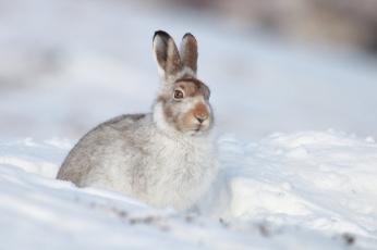 обоя животные, кролики,  зайцы, белый, заяц, природа, зима, снег