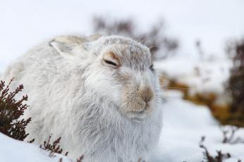 обоя животные, кролики,  зайцы, спит, белый, природа, снег, зима, заяц