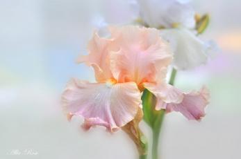обоя цветы, ирисы, цветение, лето