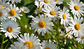 обоя цветы, ромашки, природа, лето, цветение, белая, ромашка