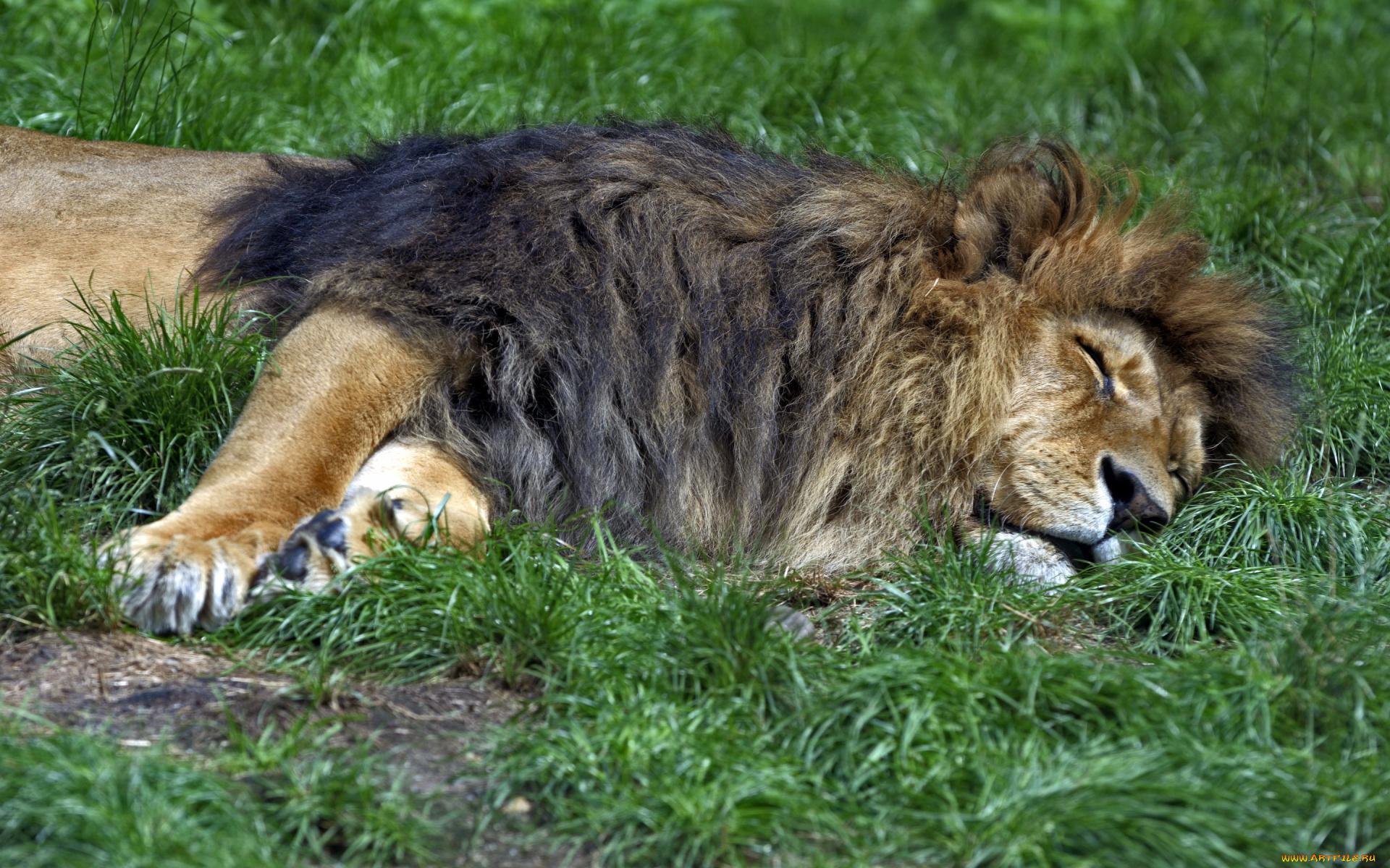 лев на траве без смс