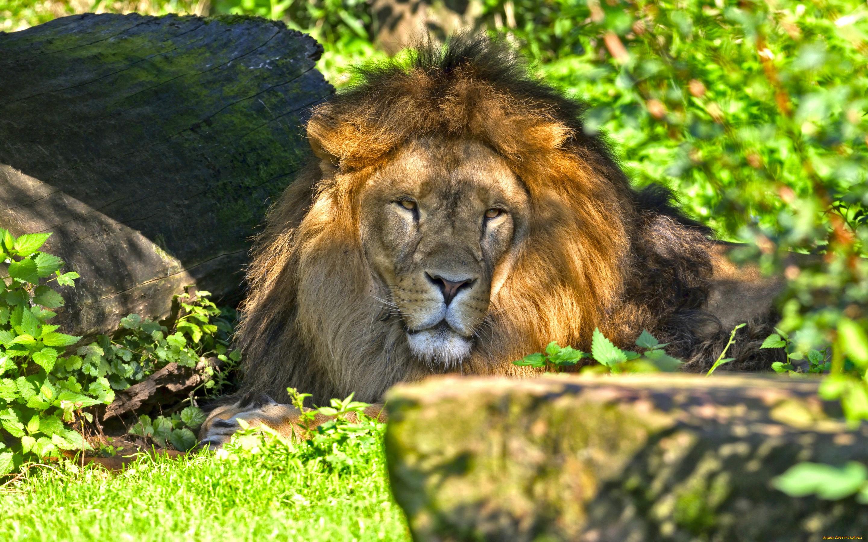 лев на траве скачать