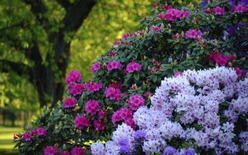 обоя цветы, рододендроны , азалии, кусты, рододендроны