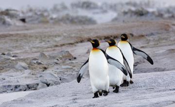 обоя животные, пингвины, королевские, камни, берег, трио
