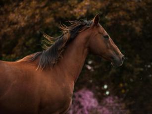 обоя животные, лошади, гнедой, красавец, грива, морда, профиль
