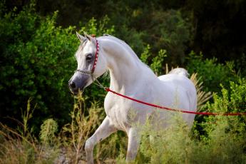 обоя животные, лошади, грация, арабский, белый, жеребец