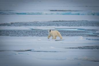 обоя животные, медведи, белый, вода, холод, льдины, полярный, снег, хищник
