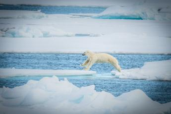 обоя животные, медведи, прыжок, льдины, снег, полярный, хищник