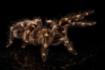 обоя животные, пауки, тарантул