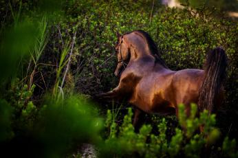 обоя животные, лошади, поза, грация, гнедой, жеребец, конь