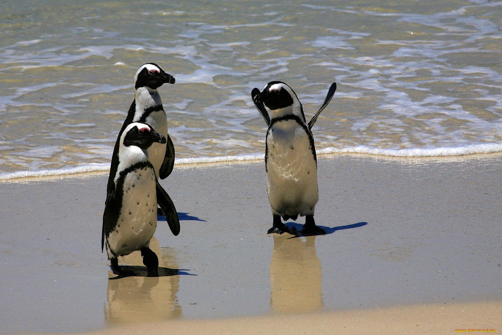 Пингвин картинки смешные