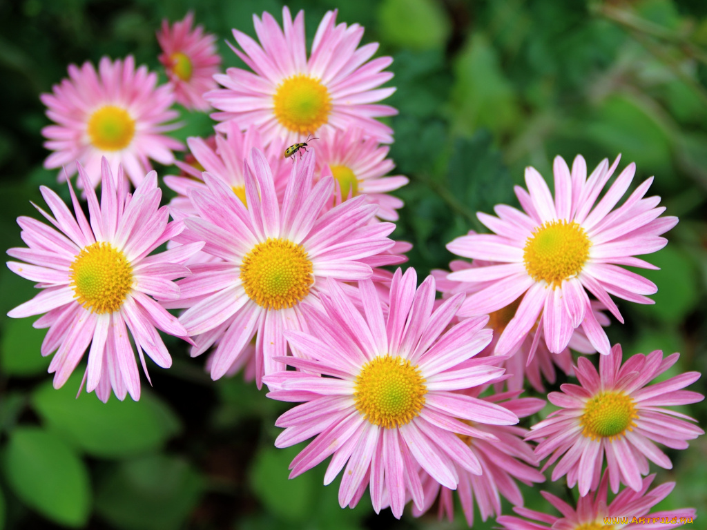 Розовый цветок похожий на ромашку