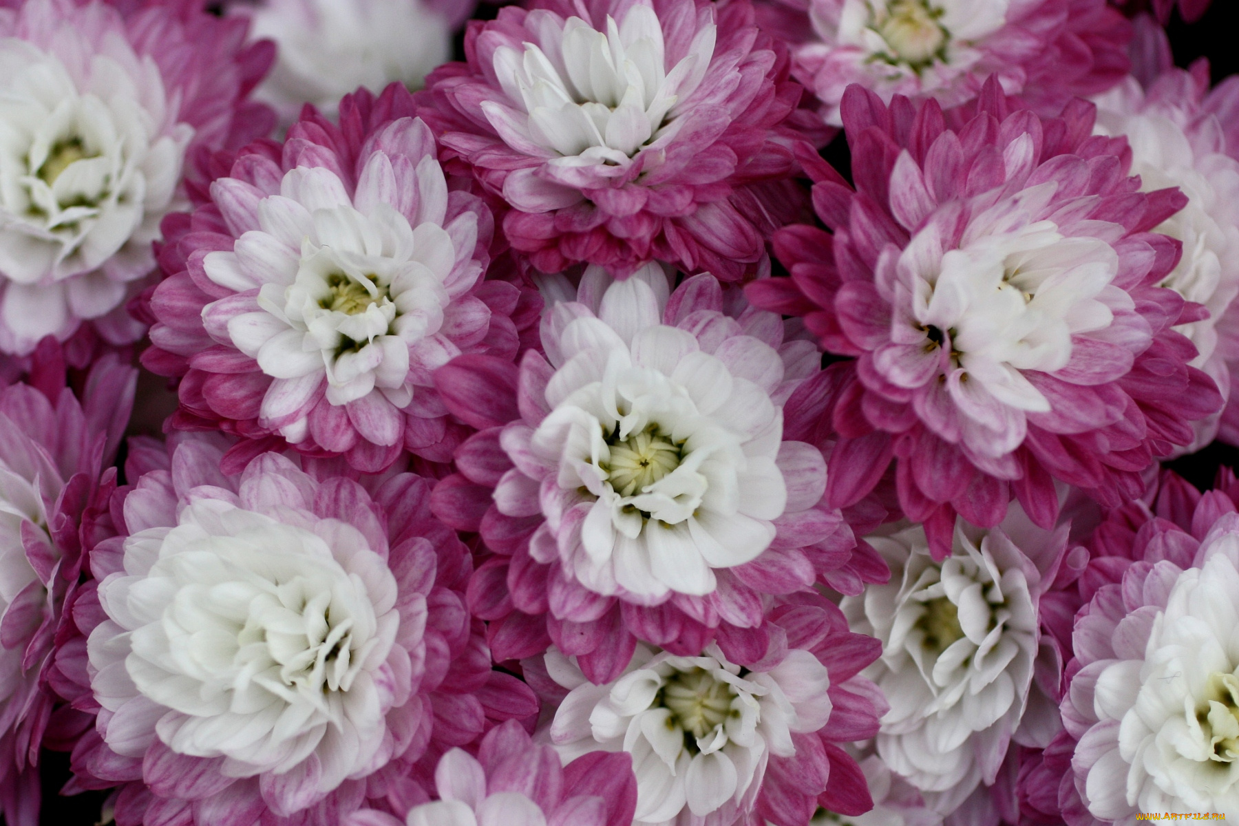 Картинки хризантема цветок, осенние