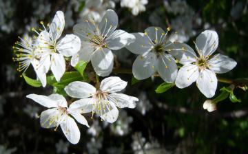Картинка цветы цветущие деревья кустарники алыча белые