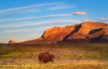 Картинка животные коровы +буйволы пейзаж бык