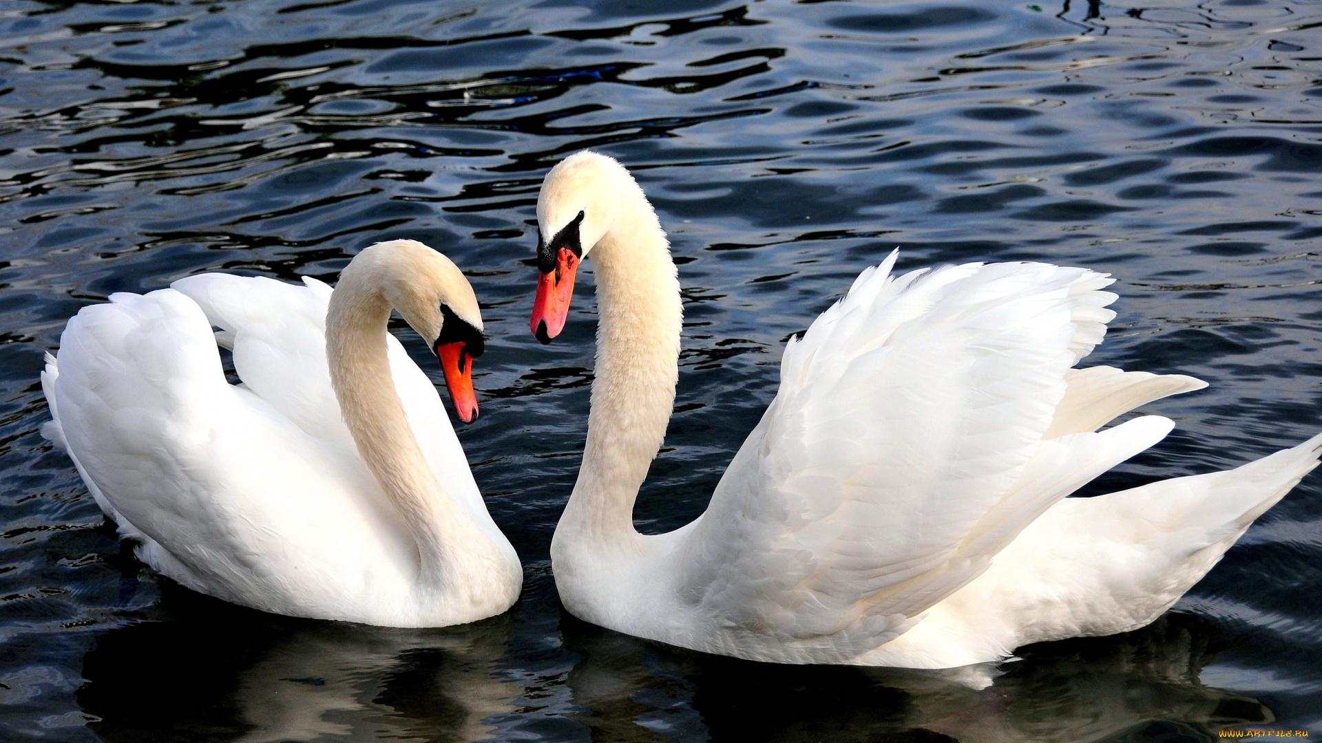 Лебеди скачать