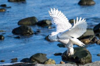 Картинка животные совы белая сова крылья птица