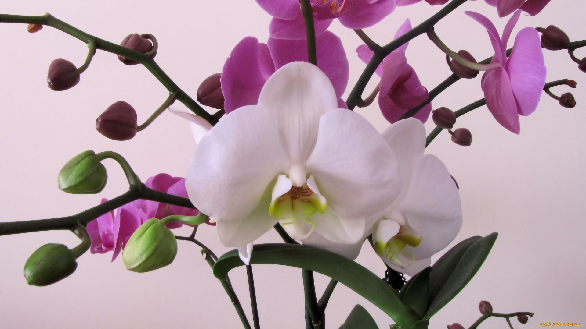 Орхидея большие картинки для рабочего стола