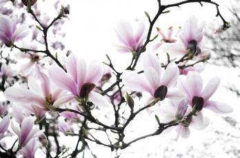 обоя цветы, магнолии, весна, дерево, магнолия, ветки