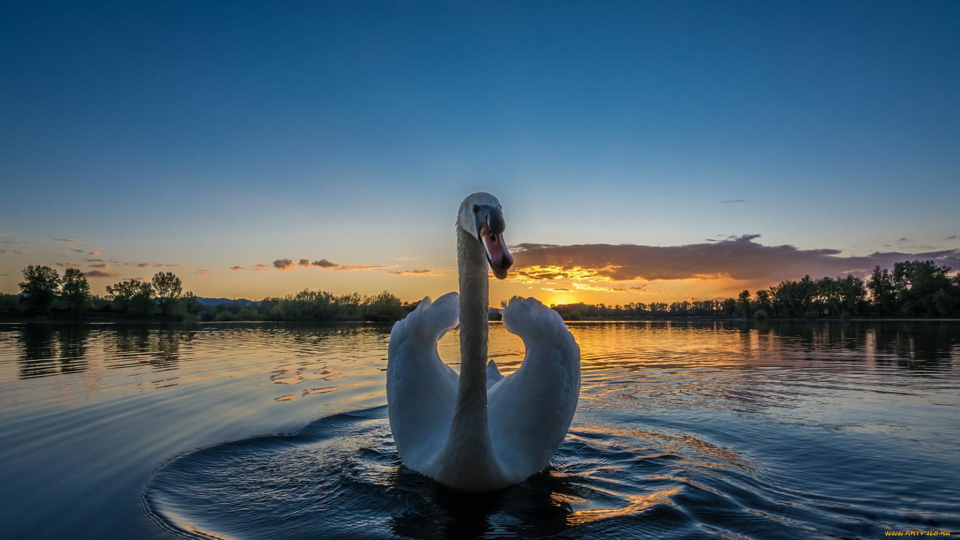 Закат и лебедь загрузить