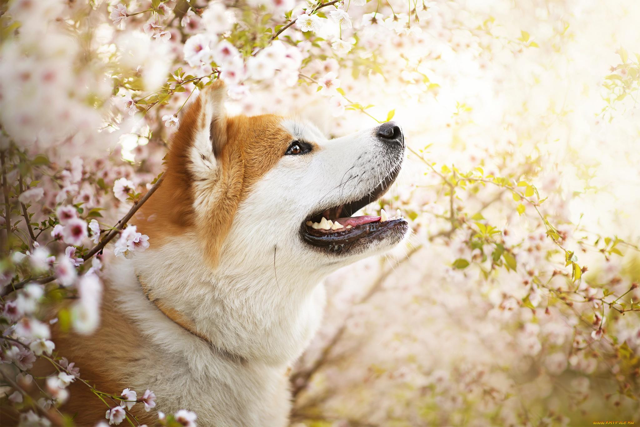животное собака мару  № 2018089 бесплатно