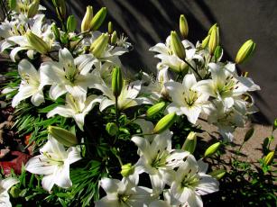 обоя цветы, лилии,  лилейники, белый, много