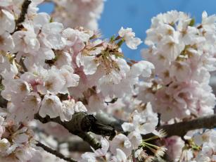 обоя цветы, сакура,  вишня, ветки, весна