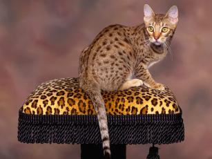 обоя животные, коты, бенгальская, пятнистая, кошка, кот, подушка