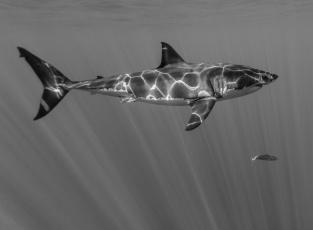 обоя животные, акулы, акула, большая, белая