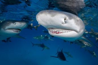 обоя животные, акулы, хищник