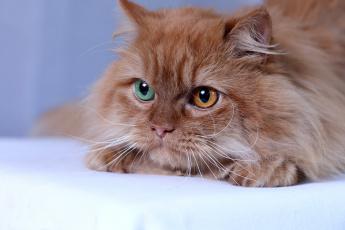 обоя животные, коты, мордочка, рыжая, пушистая, кот, кошка, взгляд