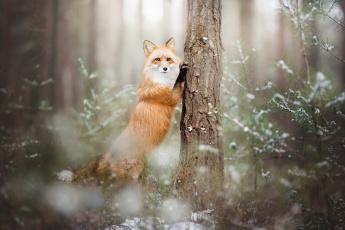 обоя животные, лисы, лиса, лес, зима